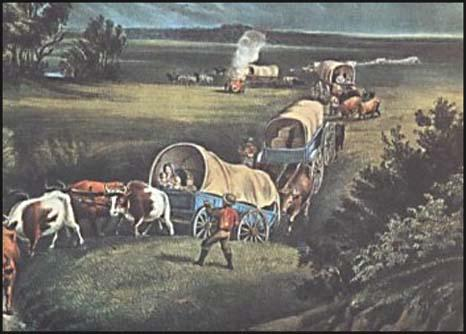 Oxen pulling wagons.